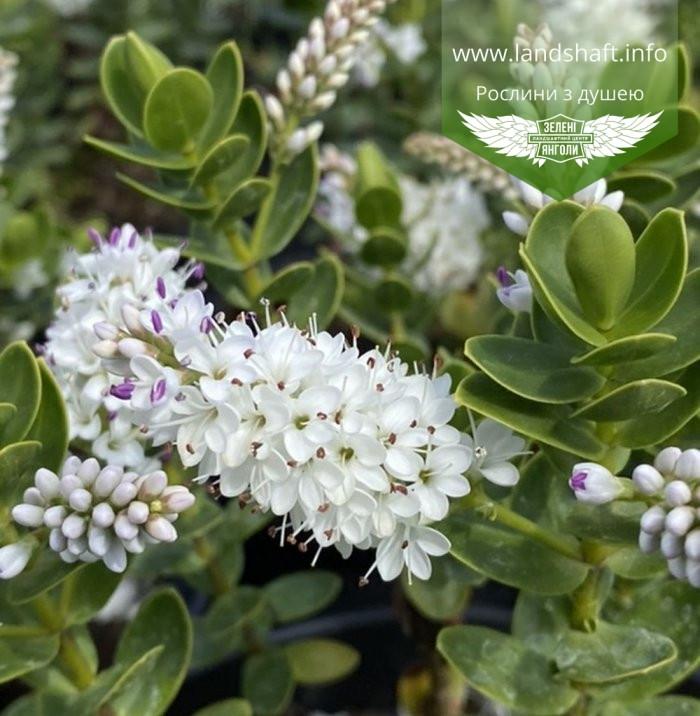 Hebe buxifolia, Хебе самшитолиста,C2 - горщик 2л