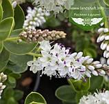 Hebe buxifolia, Хебе самшитолиста,C2 - горщик 2л, фото 3