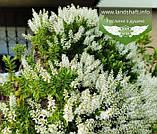 Hebe buxifolia, Хебе самшитолиста,C2 - горщик 2л, фото 4