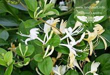 Lonicera caprifolium, Жимолость пахуча,C2 - горщик 2л