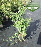 Lonicera caprifolium, Жимолость пахуча,C2 - горщик 2л, фото 2