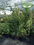 Lonicera caprifolium, Жимолость пахуча,C2 - горщик 2л, фото 3