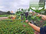 Lonicera caprifolium, Жимолость пахуча,C2 - горщик 2л, фото 5