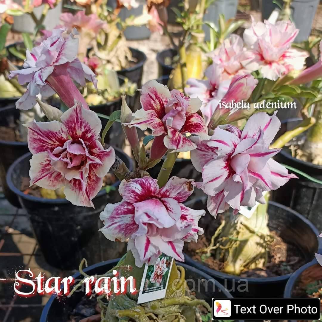 Аденіум Star rain (держак)