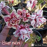 Аденіум Star rain (держак), фото 3