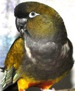 Патагонский попугай - выкормыш