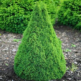 Саженцы Ели канадской Коника (Picea glauca Conica)