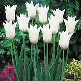 Луковицы тюльпанов лилиевидных  White Triumphator 3 шт, фото 2