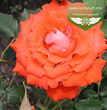 Rosa 'Angelique', Троянда чайно-гібридна 'Анжелік',C3 - горщик 3л