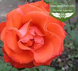 Rosa 'Angelique', Троянда чайно-гібридна 'Анжелік',C3 - горщик 3л, фото 2