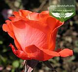 Rosa 'Angelique', Троянда чайно-гібридна 'Анжелік',C3 - горщик 3л, фото 3