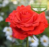 Rosa 'Angelique', Троянда чайно-гібридна 'Анжелік',C3 - горщик 3л, фото 4