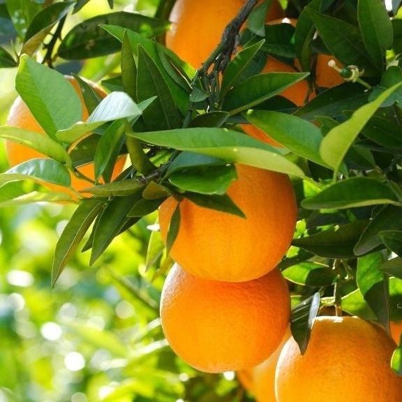 Апельсин Аджарський