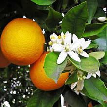Апельсин Валенсія