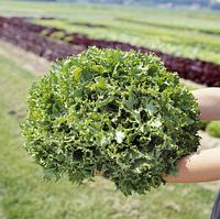 КАНКАН - салат, Hazera, фото 1