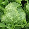 РОБИНСОН - салат, Hazera