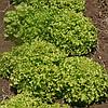 РОНАЛИ - салат, Hazera