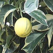 Апельсин Тарокко Пестролистный красный (Tarocco foliis variegatis tardivo)
