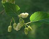 Бальзам шелковицы (тутовое дерево), фото 4