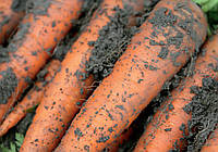 Морковь Каротан (Karotan RZ), 100 000с, тип Флакке ( поздняя 130-140 дней) (калибр 1.6-1.8)