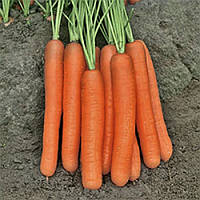 Морковь Морелия F1 (Morelia RZ), 25 000 семян, тип Нантес, 120 дн. (калибр 2,0-2.2)