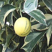 Апельсин Тарокко пёстролистный красный (Tarocco foliis variegatis tardivo) 20-25 см. Комнатный