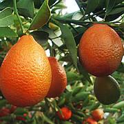 Оранжекват НИППОН (Orangequat Nippon, C. Unshiu x F. Margarita)