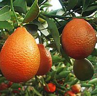 Оранжекват НИППОН (Orangequat Nippon, C. Unshiu x F. Margarita) 20-25 см. Комнатный