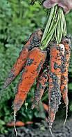 Морковь Трафорд F1 (Траффорд Р.З.), 1 000 000семян тип Флакке, 120 дн. (калибр 1,8-2.0)