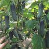 Огурец-корнишон Ленара F1 (Lenara RZ), 250 семян