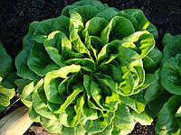 Салат Саланова/маслянистый Аквино (Aquino RZ), зеленый, 5000семян, дрожже