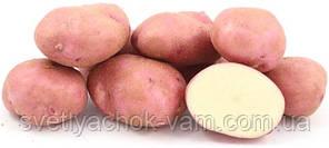 Картофель Рудольф среднепоздний сорт высокоурожайный крупноплодный вкусный класс Э ф 35-55 Голландия