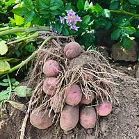Картофель Рудольф среднепоздний сорт высокоурожайный крупноплодный вкусный класс 1Р ф 35-55 Голландия