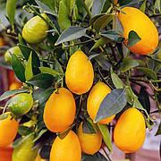 Лимонкват « Lemonquat» (C. limon x Fortunella)