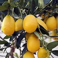 Лимонкват « Lemonquat»  (C. limon x Fortunella) до 20 см. Комнатный