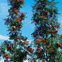 """РЯБИНА Aucuparia """"Fastigiata""""(Обыкновенная)Литров в конт.:60 h 2,0-2,5"""