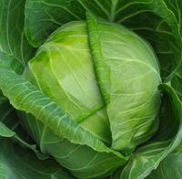 ЭМИЛИ F1 - семена капусты белокочанной калиброванные, фото 1