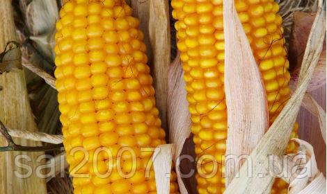 Семена кукурузы Амарок