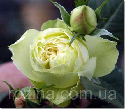 """Саджанці троянди """"Лемон Піано"""""""
