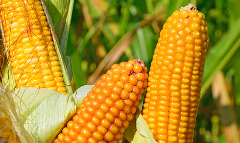 Семена кукурузы ВН 6763 -ВНИС