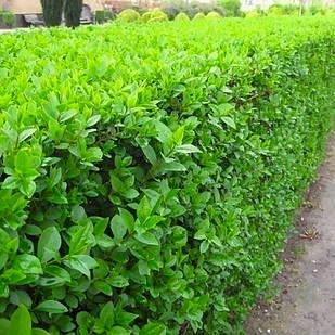 Саженцы Бирючины обыкновенной (Ligustrum vulgare)