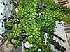 Перец зелёный горошек от 5 кг