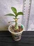 Сеянец White Dolphine × Taiwan Peony (сеянец #4), фото 2
