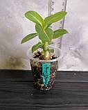 Сіянець Yellow Jasmine × Pinacolada (сіянець #1), фото 2