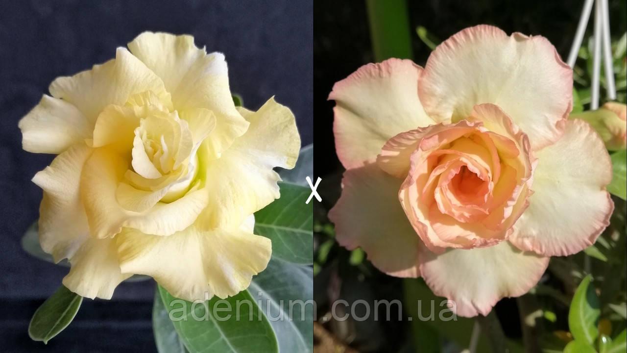 Сеянец Yellow Jasmine × Pinacolada (сеянец #1)