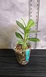 Сеянец Yellow Jasmine × Pinacolada (сеянец #3), фото 2