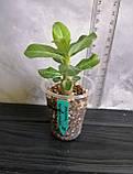 Сіянець Yellow Jasmine × Pinacolada (сіянець #4), фото 2