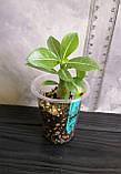 Сеянец Yellow Jasmine × Pinacolada (сеянец #5), фото 2
