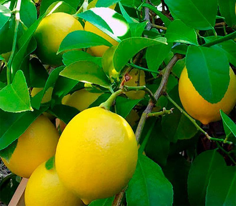 "Лимон ""Бутони"""