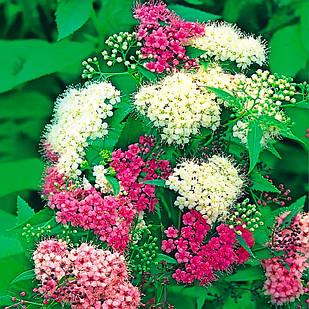Саженцы Спиреи японская Дженпей (Широбана) (Spiraea japonica Genpei (Shirobana)